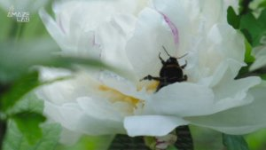 Find Out Why Bumblebees are as Smart as Humans in One Particular Way