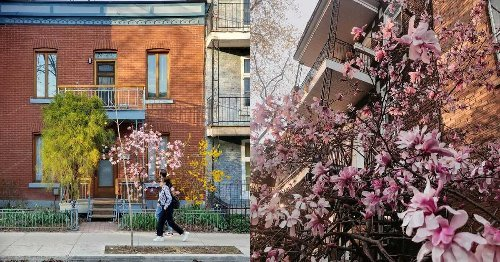 Montreal's Magnolia Trees Are Blossoming & This Map Can Help You Find Them