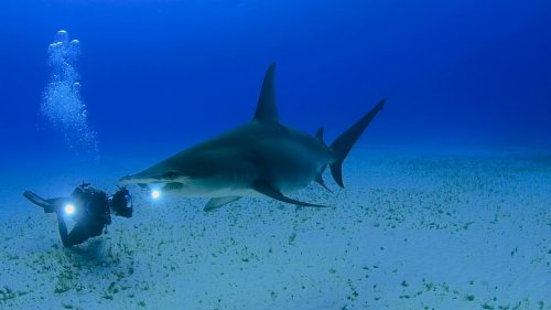 Underwater Videographer Shares Footage of Great Hammerhead
