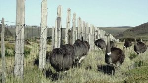 Chile's Decimated Rheas Population Are Being Reintroduced Back Into National Park!