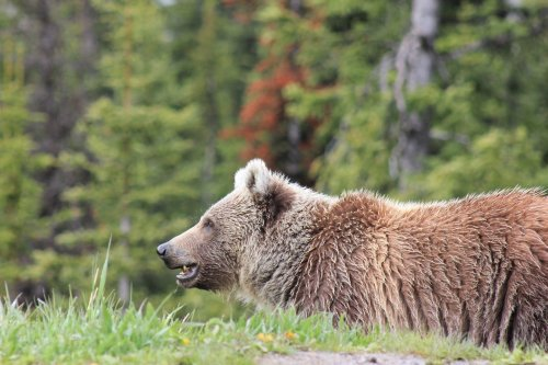 Huge Grizzly charges at a truck full of people to defend her cubs