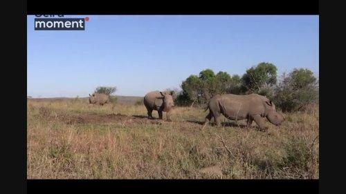 Amazing video of Rhino marking territory