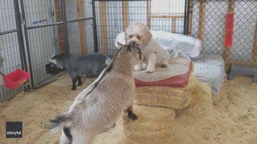 Sweater-Wearing Dog Bonds With Goat Pal at Ohio Farm