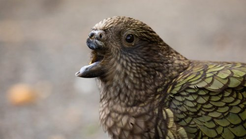 Disabled parrot uses stone to clean its feathers after losing beak