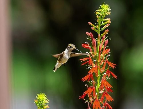 The Best Flowers for Hummingbirds