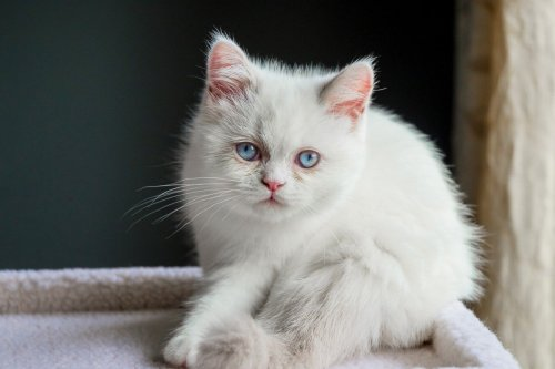 12 Smallest Cat Breeds in the World