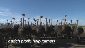 Mongolian Ostrich Farms See Rise in Income Thanks to the Birds!