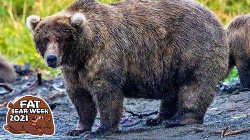 Fat Bear Week Kicks Off Today! Behold the Fat Bears! 🐻
