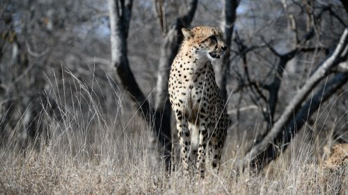 Incredible Cheetah Pose on Hunt