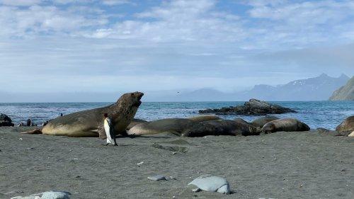 King Penguin Walks Past Elephant Seal