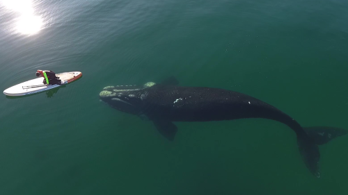 'Friendly whale accompanies standup paddleboarder through the Puerto Madryn waters '