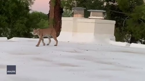 Cute Arizona Bobcat Turns Spooky When She Sees She's Being Watched