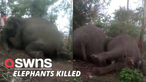 Herd of 18 Indian elephants KILLED by lightning during storm in Assam, India (RAW)