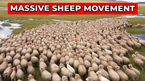 'Peru: Stunning aerial footage shows huge flock of sheep forming an impressive choreography '