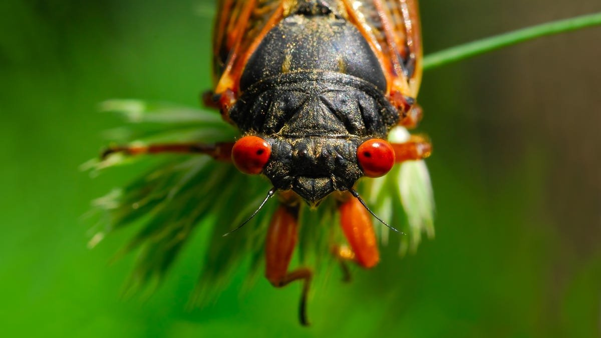 A Cicada Got Into My House and Tried to Eat My Family