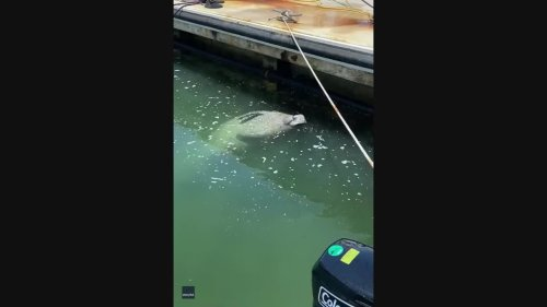 Hungover Man Relates to Thirsty Manatee at Key West Marina