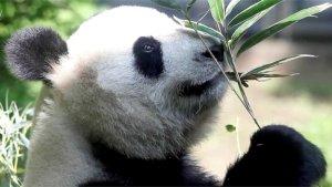 Rare Panda Twins Born at Zoo in Tokyo