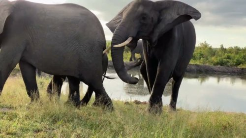 Elephants interact at waterhole