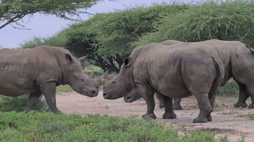 Rare footage of endangered rhinos mating in the wild