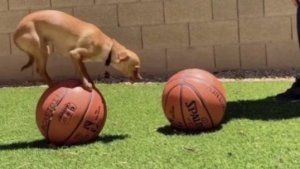 This Tiny Dog Is Probably Better at Basketball Than You!