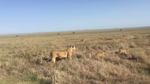 Lioness and cubs walk in Serengeti