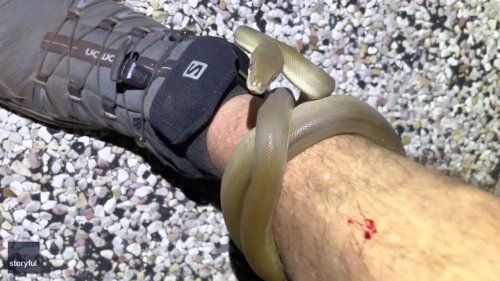 Hugs and Hisses: Aussie Man Unfazed as Olive Python Wraps Itself Around Leg