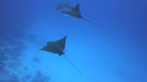 Eagle rays swimming in perfect sync
