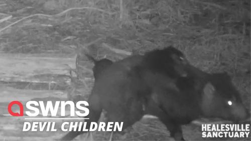 Tasmanian Devil mum carries four rambunctious babies on her back