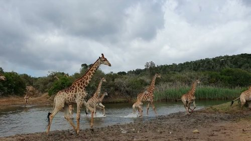 Giraffe Herd Cross River