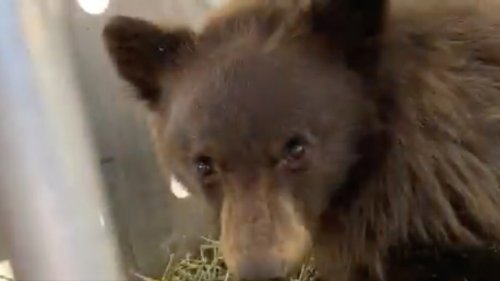 Colorado Cub Who Suffered Wildfire Burns Returns To Wild