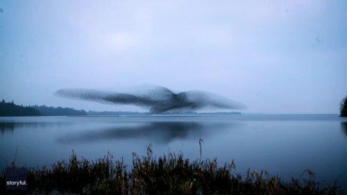 Stunning Starling Murmuration Makes Shape of Bird Over Lake