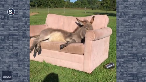 Donkey Takes a Break on Comfy Couch