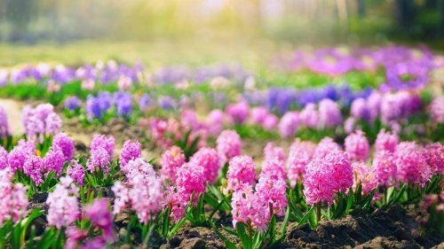 Mistakes Everyone Makes When Planting Hyacinths