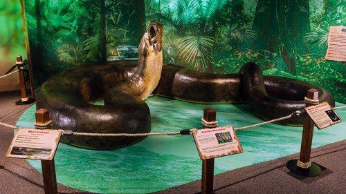 The Massive Titanoboa Snake Once Ruled the Colombian Rainforest