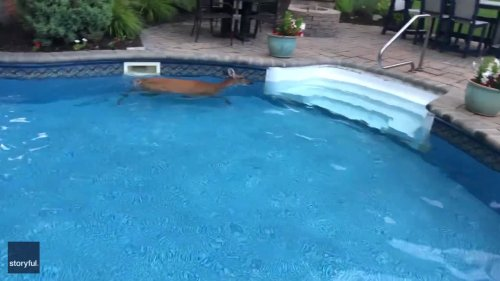 Deer Goes for Gold With Lap Around Massachusetts Pool