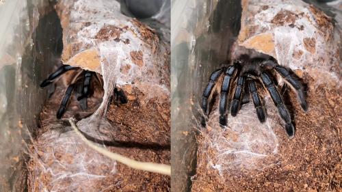 'Massive Tarantula Dramatically Emerges to Get Fed '