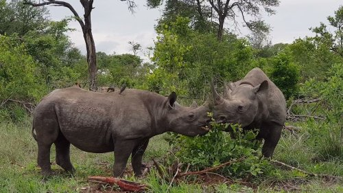 Black Rhinos Graze in the Wild