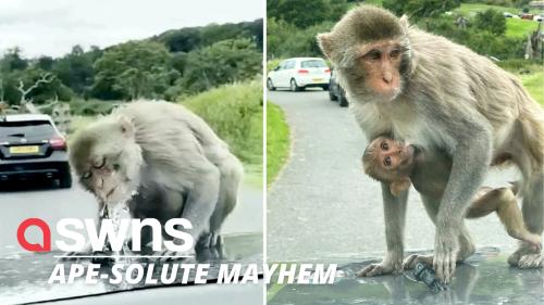 Moment entire family of monkeys swarm UK family's car at safari park