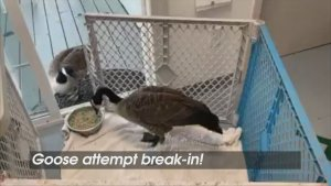 Love Birds! A Concerned Female Goose Follows Her Mate to the Wildlife Center Where He's Having Surgery!