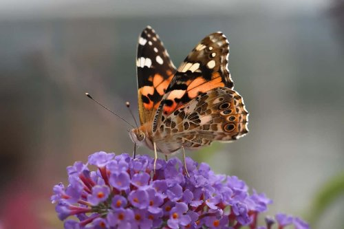 The Big Butterfly Count has just kicked off - here's how to help