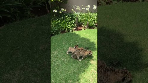 Cutest tiger cubs play together
