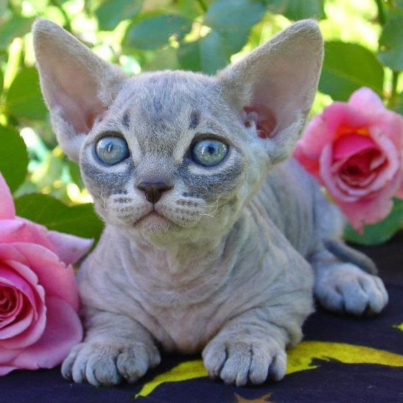 16 Weird Cat Breeds + More Cat Breed Types
