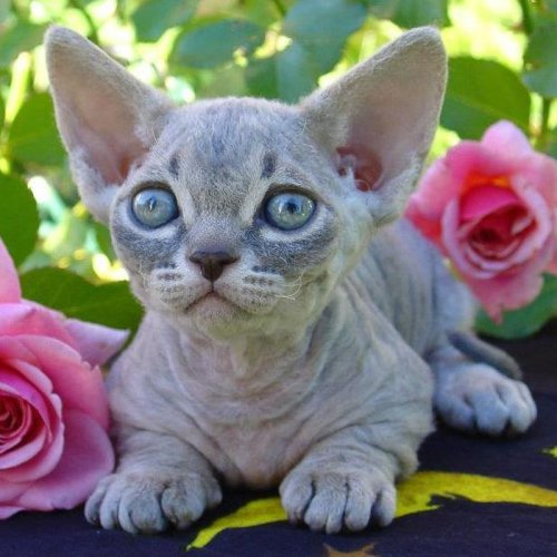 16 Weird Cat Breeds + More Cat Breed Types