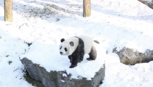 Snow Day! Look at This Adorable Footage of Panda Twins Playing in Snow for the First Time!