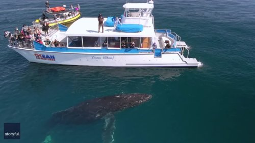 Friendly Humpback Whale Mugs Boat Off Dana Point, California