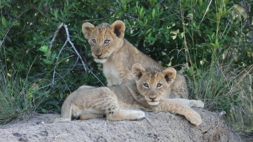 Lion cubs wait for mother to return