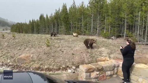 Bear Charges Toward Woman at Yellowstone National Park