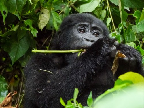 Gorilla Tracking in Uganda – zu Besuch bei den sanften Giganten