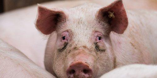 Hinten lebendig, vorne zerlegt: Video im Supermarkt: Wer Fleisch kauft, sieht gleichzeitig quieckende Schweine