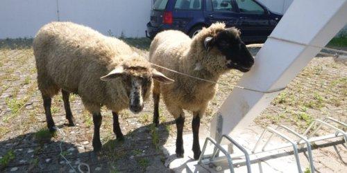 Polizeipräsidium Offenburg: POL-OG: Rheinau, Freistett - Tierbesitzer gesucht